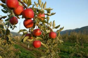 apples-1326137