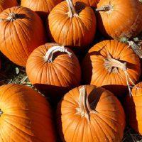 Pumpkin picking in the Ottawa area