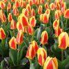 tulips-1484257